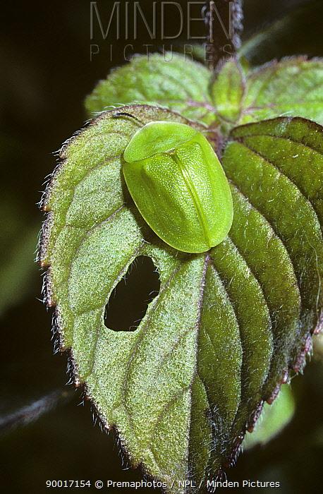 Green tortoise beetle (Cassida viridis) on Water mint, UK  -  Premaphotos/ npl
