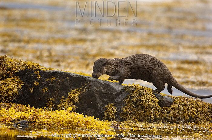 European River Otter (Lutra lutra) adult investigating smells left along a rocky coastline, Isle of Mull, Scotland United Kingdom  -  Andrew Parkinson/ npl