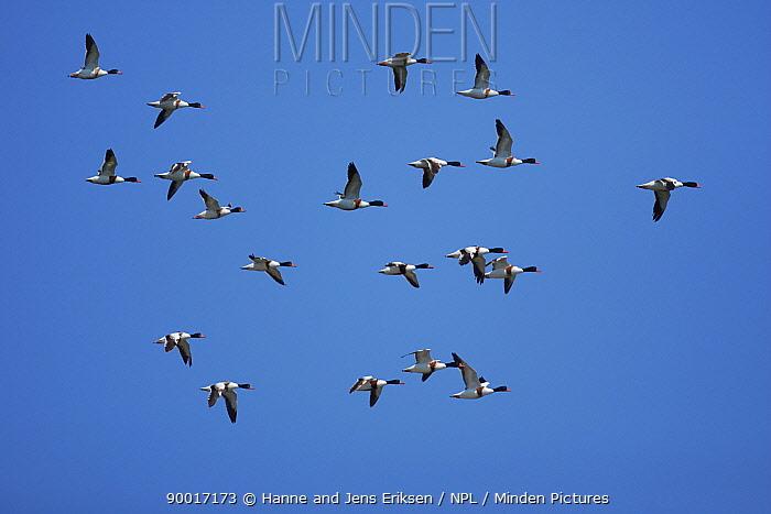 Common Shelduck (Tadorna tadorna) flock in flight, Siltoft, Germany  -  Hanne & Jens Eriksen/ npl