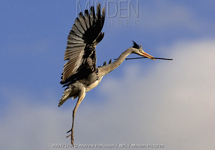 Grey Heron (Ardea cinerea) flying, about to land at nest site, carrying nest material, Derbyshire, United Kingdom  -  Andrew Parkinson/ npl