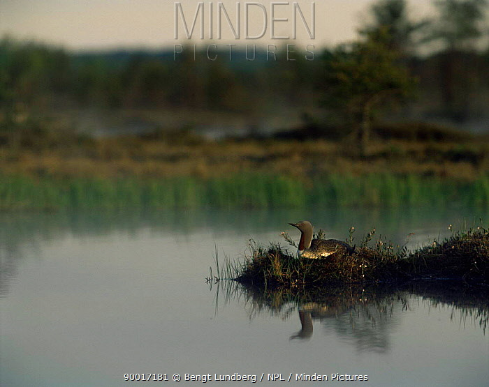 Red-throated Loon (Gavia stellata) on nest Sweden  -  Bengt Lundberg/ npl