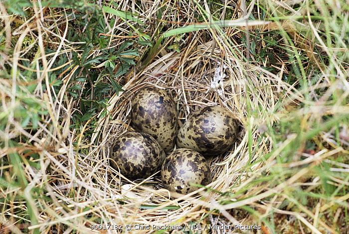 Common Snipe (Gallinago gallinago) eggs in nest on ground, Outer Hebrides, Scotland  -  Chris Packham/ npl