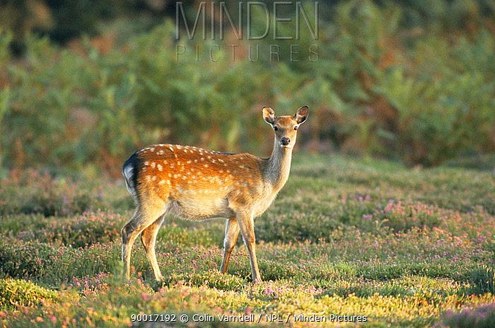 Sika Deer (Cervus nippon) United Kingdom  -  Colin Varndell/ npl