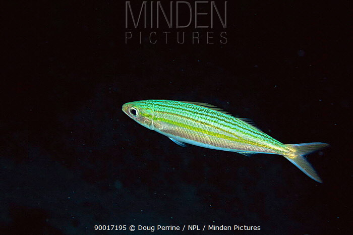 Bonnetmouth (Emmelichthyops atlanticus) Bahamas  -  Doug Perrine/ npl