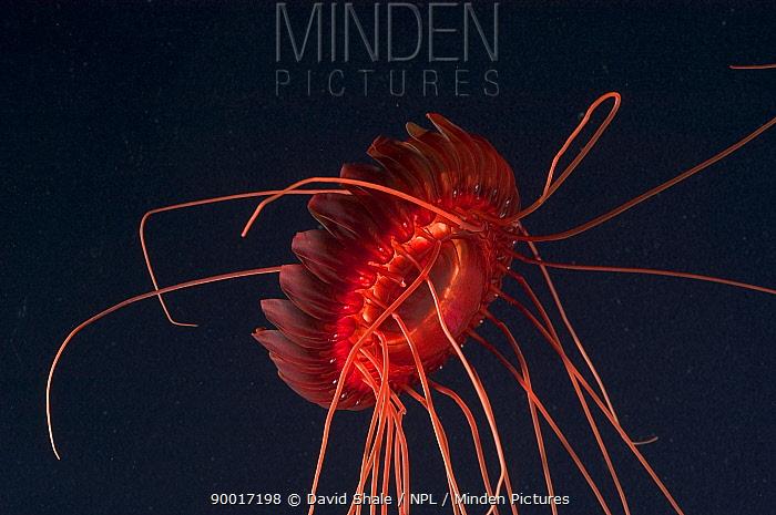 (Atolla sp) a deep sea medusa, deep sea Atlantic ocean  -  David Shale/ npl
