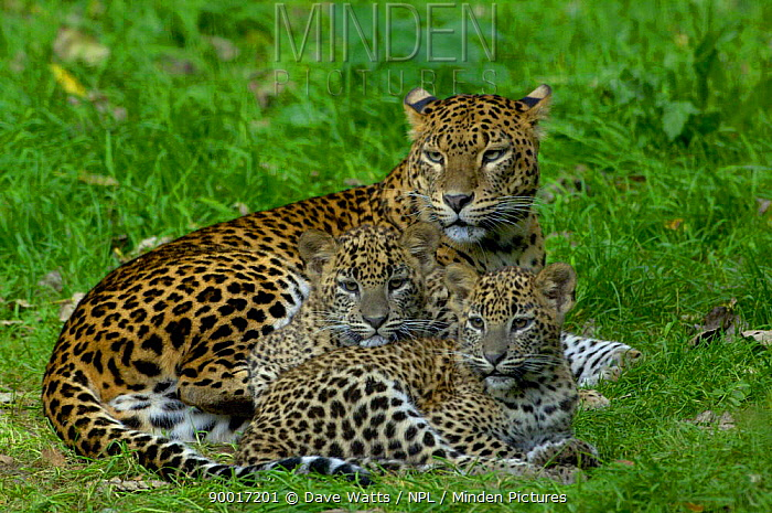 Sri Lanka Leopard (Panthera pardus kotiya) mother with cubs,  -  Dave Watts/ npl