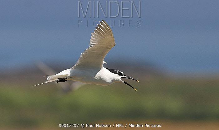 Sandwich tern (Thalasseus sandvicensis, Sterna sandvicensis) calling in flight, Northumberland, UK  -  Paul Hobson/ npl