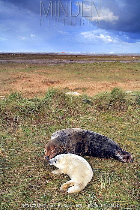 Grey Seal (Halichoerus grypus) with pup, Donna Nook, Lincolnshire, United Kingdom  -  Jose B. Ruiz/ npl