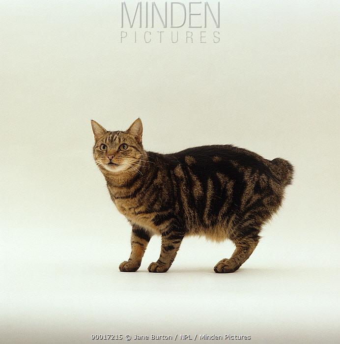 Domestic Cat (Felis catus) Tabby manx 'Stumpy' no tail  -  Jane Burton/ npl