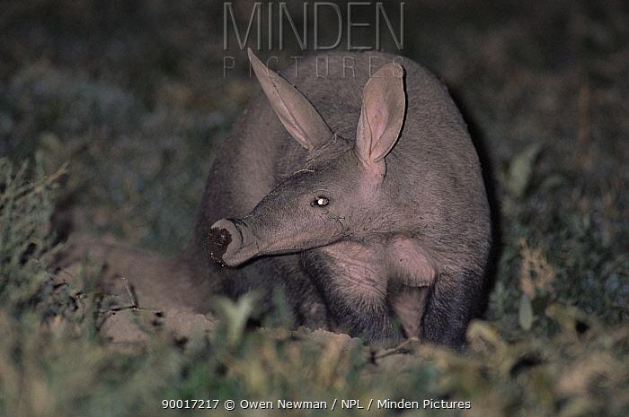 Aardvark (Orycteropus afer) at burrow entrance, Serengeti NP, Tanzania  -  Owen Newman/ npl
