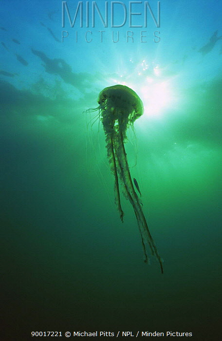 Compass jellyfish (Chrysaora hyoscella) with predated fish amongst tentacles, Isles of Scilly, UK  -  Michael Pitts/ npl