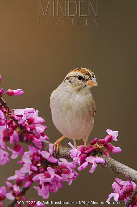 Chipping Sparrow (Spizella passerina) adult perched on branch of blooming Eastern redbud, New Braunfels, Texas  -  Rolf Nussbaumer/ npl