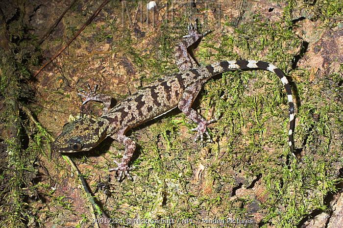 Bent-toed Gecko (Gonydactylus sp) on mossy bark, night-time Danum Valley, Sabah, Borneo  -  Nick Garbutt/ npl