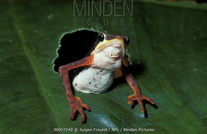 Striped poison arrow frog (Phyllobates bevlengeri) emerging through hole in leaf, Gorgona Island, Colombia  -  Jurgen Freund/ npl
