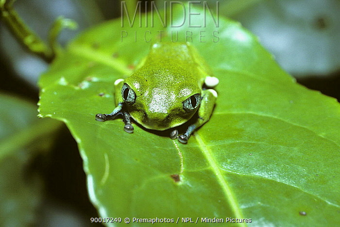 African Tree Frog (Leptopelis sp) in cryptic daytime resting pose on a leaf in rainforest, Uganda  -  Premaphotos/ npl
