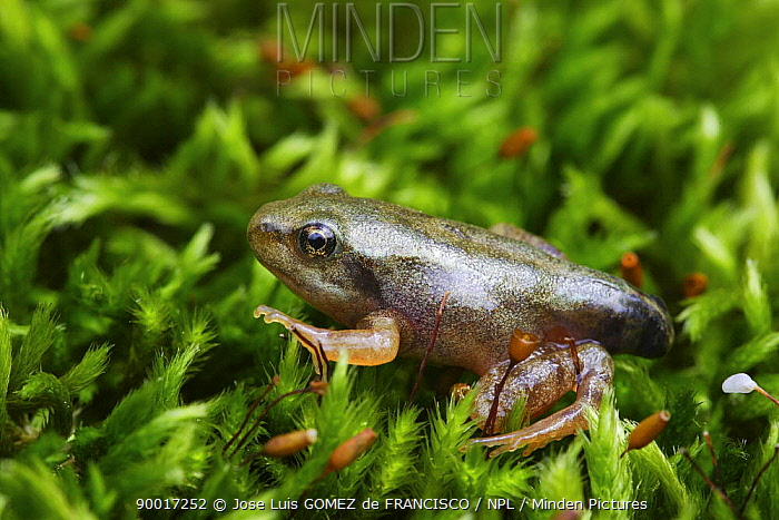 Common Frog (Rana temporaria) young froglet, with stump of a tail, Spain  -  Jose Luis Gomez De Francisco/ np