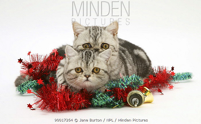 Domestic Cat (Felis catus) two silver tabby Exotic kittens with Christmas tinsel and bells  -  Jane Burton/ npl