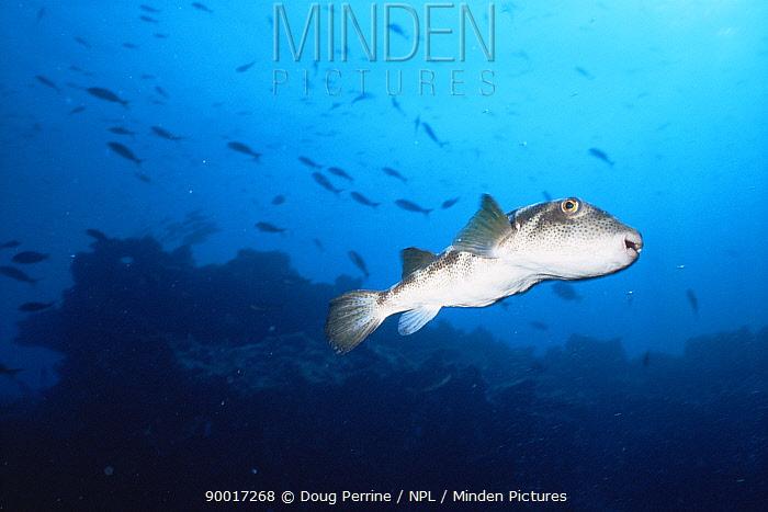 Bullseye pufferfish (Sphoeroides annulatus) Galapagos  -  Doug Perrine/ npl