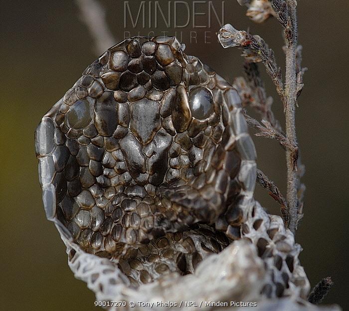 Common European Adder (Vipera berus) male shed skin on branch  -  Tony Phelps/ npl