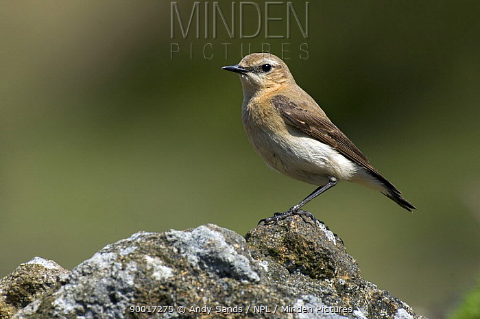 Northern Wheatear (Oenanthe oenanthe) female perched on rock, Upper Teesdale, Co Durham, England United Kingdom  -  Andy Sands/ npl