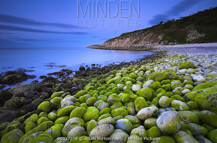 Algae covered pebbles at Church Ope Cove at dawn, Portland, Dorset, England Jurassic Coast World Heritage Site  -  Adam Burton/ npl