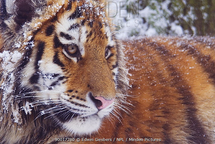 Siberian Tiger (Panthera tigris altaica) in snow,  -  Edwin Giesbers/ npl