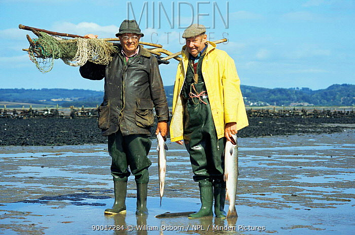 Salmon caught in pulchers, traditional method, Severn estuary, Glos, UK Deryck Huby and Donald Riddle  -  William Osborn/ npl
