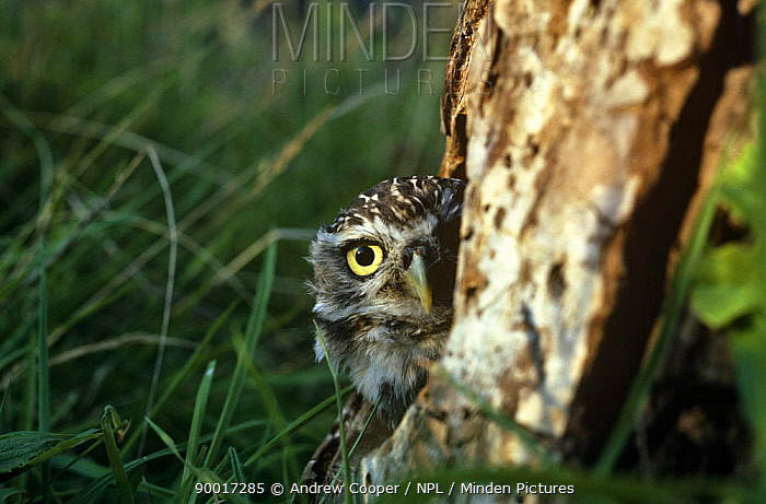 Little Owl (Athene noctua) at nest entrance in apple tree, Devon, England, United Kingdom  -  Andrew Cooper/ npl