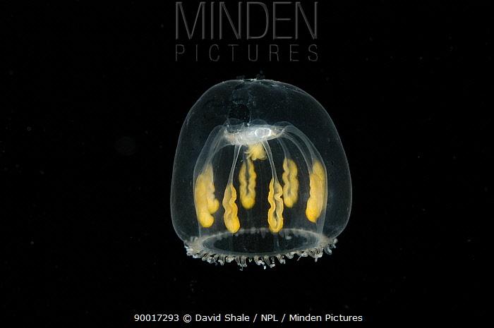 (Melicertum octocostatum) small hydromedusan jellyfish, deep sea Atlantic ocean  -  David Shale/ npl