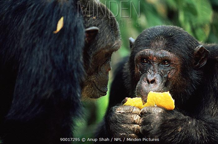 Eastern Chimpanzee (Pan troglodytes schweinfurthii) eating Ilombo fruit, Mahale National Park, Tanzania  -  Anup Shah/ npl