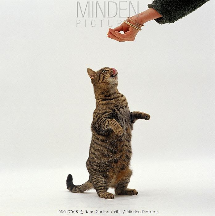 Domestic Cat (Felis catus) Striped tabby female 'Tabitha', begging for food  -  Jane Burton/ npl