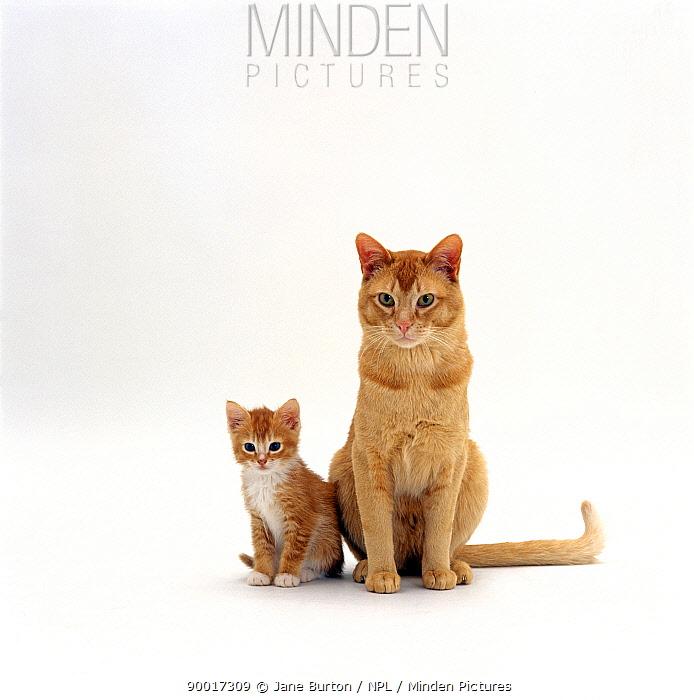 Domestic Cat (Felis catus), red female kitten with her father 'Ozzie'  -  Jane Burton/ npl