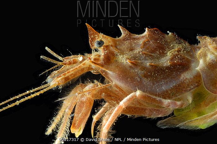 Benthic Shrimp (Sclerocrangon ferox) female, Barents sea, Northern Europe  -  David Shale/ npl