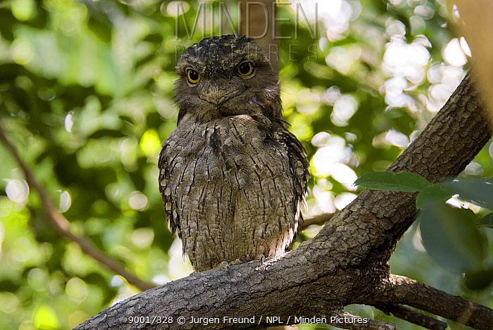 Tawny Frogmouth (Podargus strigoides), Queensland, Australia  -  Jurgen Freund/ npl