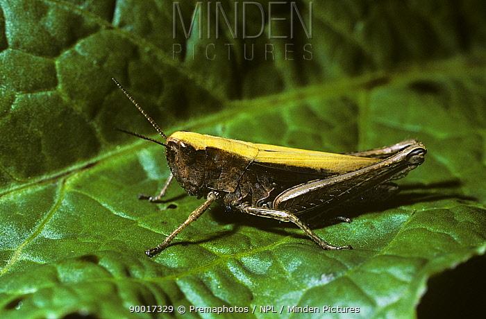 Grasshopper female (Chorthippus dorsatus) in the Alps, Switzerland  -  Premaphotos/ npl