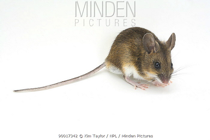 Wood Mouse (Apodemus sylvaticus) captive, United Kingdom  -  Kim Taylor/ npl
