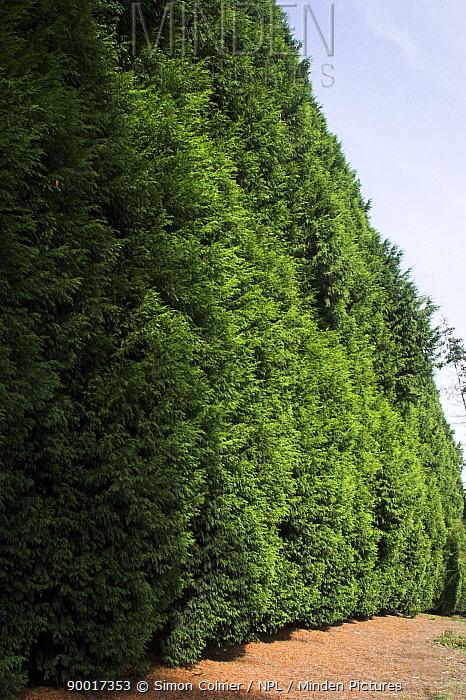 Very tall Leyland Cypress (Cupressus ? leylandii) hedge, UK  -  Simon Colmer/ npl