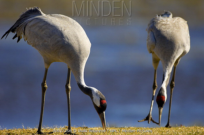 Common Crane (Grus grus) pair feeding, Lake Hornborgasj�n, Sweden  -  Inaki Relanzon/ npl