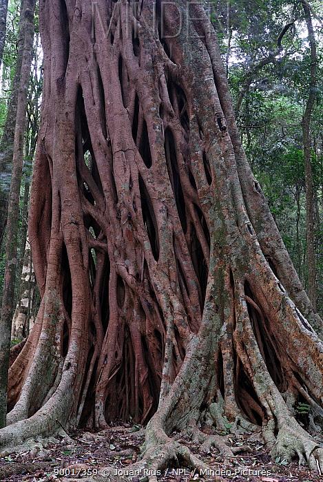 Fig (Ficus sp) tree, Bunya Mountains National Park, Queensland, Australia  -  Jouan & Rius/ npl