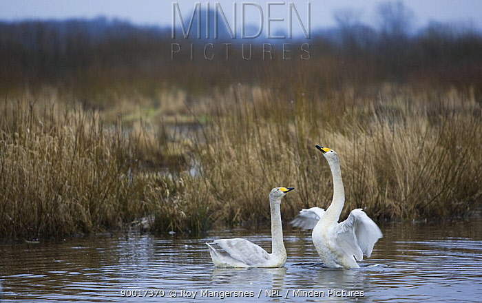 Whooper Swan (Cygnus cygnus) pair courting at dawn by Hornborgasj�n, Hornborga Lake, Sweden  -  Roy Mangersnes/ npl
