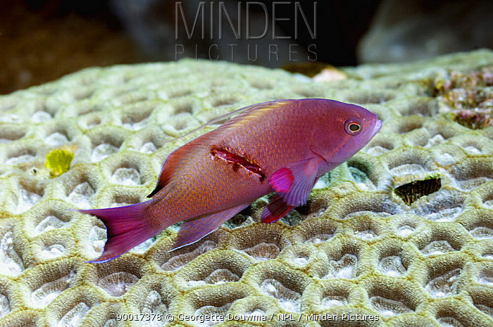 Sea Goldie (Pseudanthias squamipinnis) male with wound on coral Rinca, Indonesia  -  Georgette Douwma/ npl