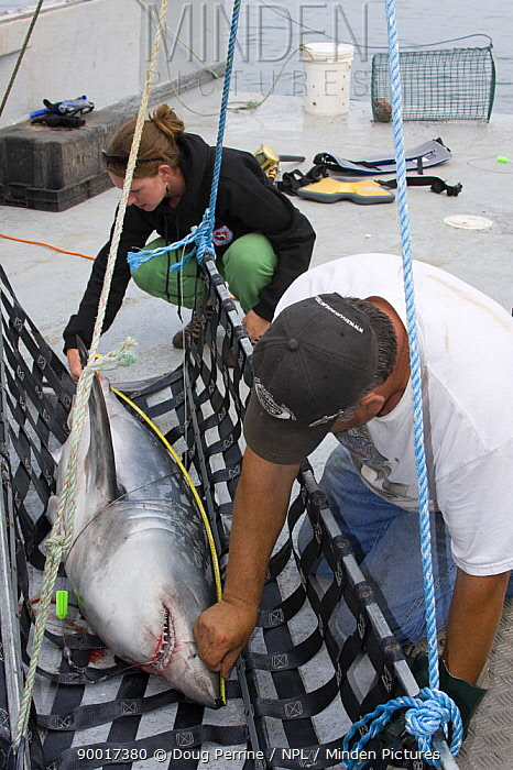 Emmerson Simpson, of Sharks Unlimited, and Pamela Emery, of the Canadian Shark Conservation Society, measure a Porbeagle shark (Lamna nasus) which will be tagged and released for research, New Brunswick, Bay of Fundy, Canada 2008  -  Doug Perrine/ npl