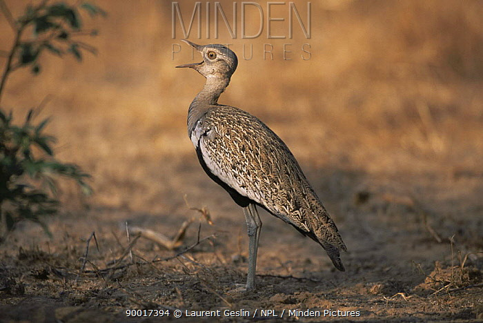 Red-crested Bustard (Eupodotis ruficrista) male calling, Namibia  -  Laurent Geslin/ npl