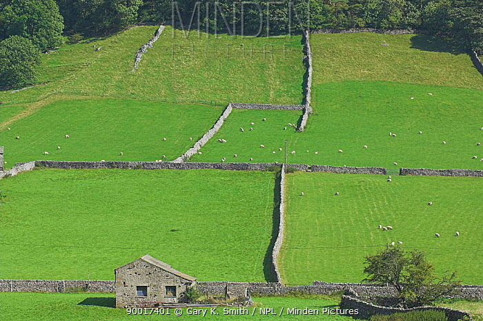 Yorkshire Dales barn and dry stone walls with sheep, UK  -  Gary K. Smith/ npl