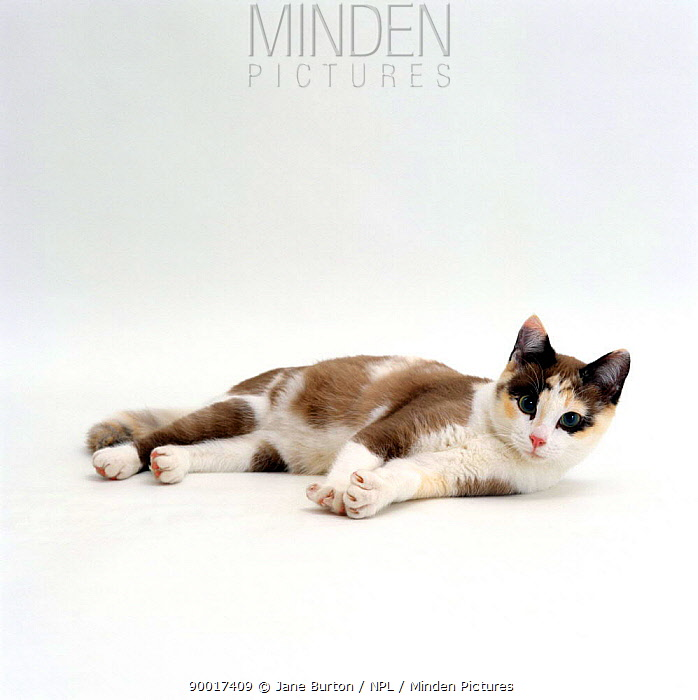 Domestic Cat (Felis catus) 5-month, Chocolate tortoiseshell 'Cookie' lying down  -  Jane Burton/ npl