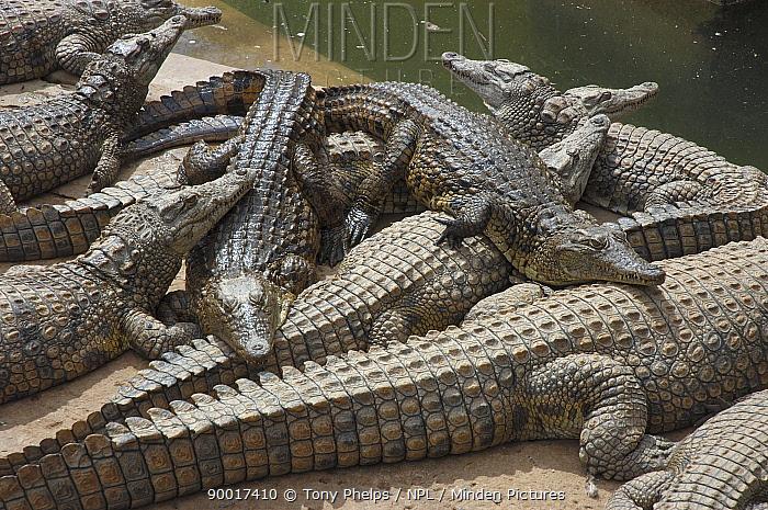 Nile Crocodile (Crocodylus niloticus) farm Oudtshoorn, Little Karoo, South Africa  -  Tony Phelps/ npl