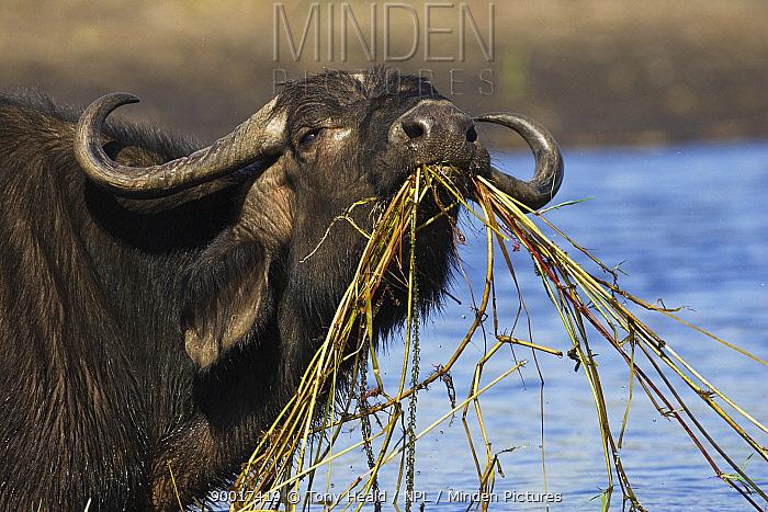 Cape Buffalo (Syncerus caffer) feeding in Chobe River, Chobe National Park, Botswana  -  Tony Heald/ npl