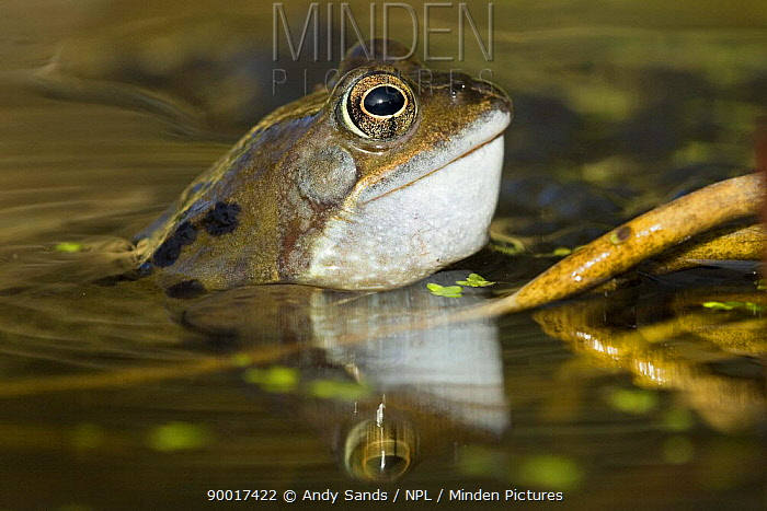 Common Frog (Rana temporaria) Male calling in pond, Hertfordshire, United Kingdom  -  Andy Sands/ npl