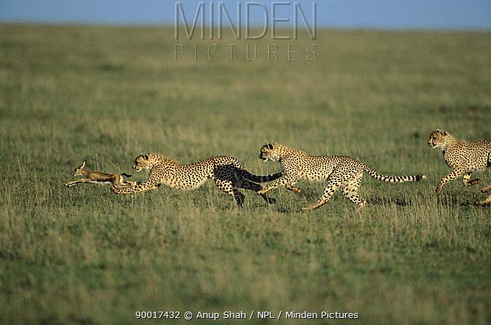 Cheetah (Acinonyx jubatus) cubs chasing Thomson's Gazelle (Gazella thomsoni) fawn, Serengeti National Park, Tanzania  -  Anup Shah/ npl