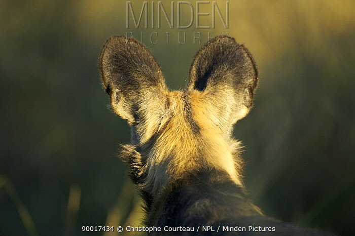 African Wild Dog (Lycaon pictus) from behind, on the Okavango Delta during the dry season, Botswana  -  Christophe Courteau/ npl